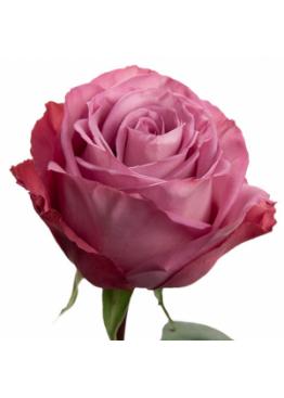 Роза Муди Блю (Moody Blue) 50 см