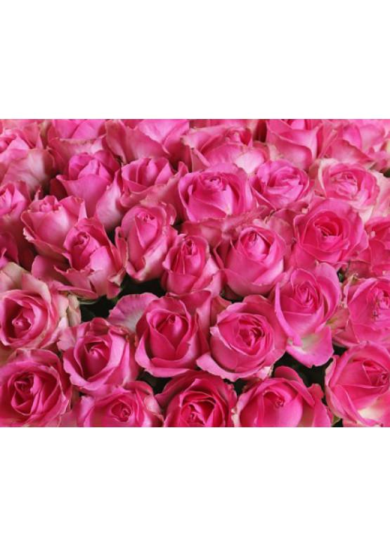 151 Бело-розовая роза Кэнди Аваланж (Candy Avalanche) 70см