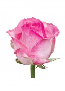 Роза Кэнди Аваланж (Candy Avalanche) Бело-розовая 70 см