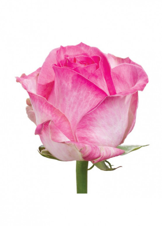 Роза Кэнди Аваланж (Candy Avalanche) Бело-розовая