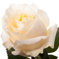 Роза Аваланж Пич (Avalanche Peach) Кремовая 50 см
