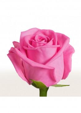 Роза Аква (Aqua) Розовая 80 см
