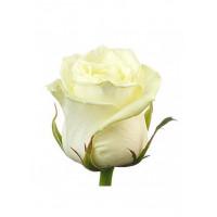Белые Розы Вайт Наоми (White Naomi)