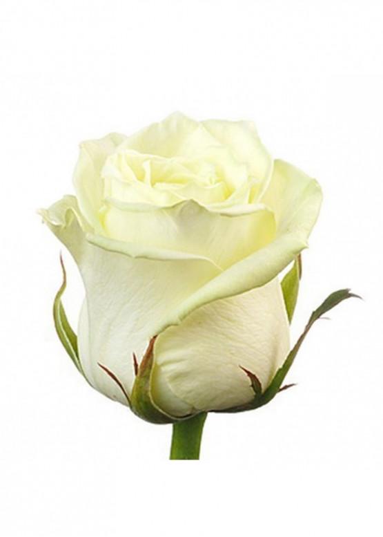 Роза Вайт Наоми (White Naomi) Белая 70 см