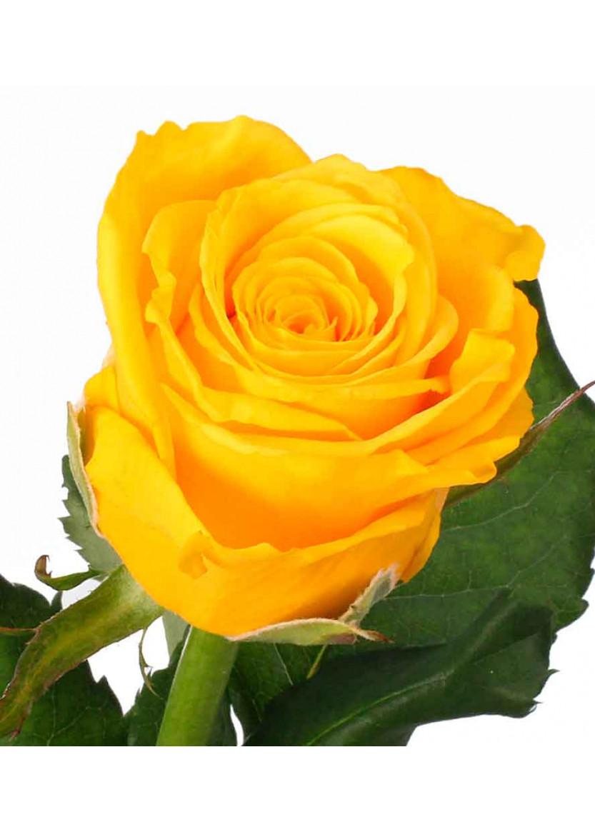 Купить желтые розы в минске купить фиолетовые розы киев