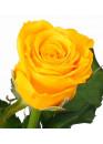 Роза Пенни Лэйн (Penny Lane) Жёлтая