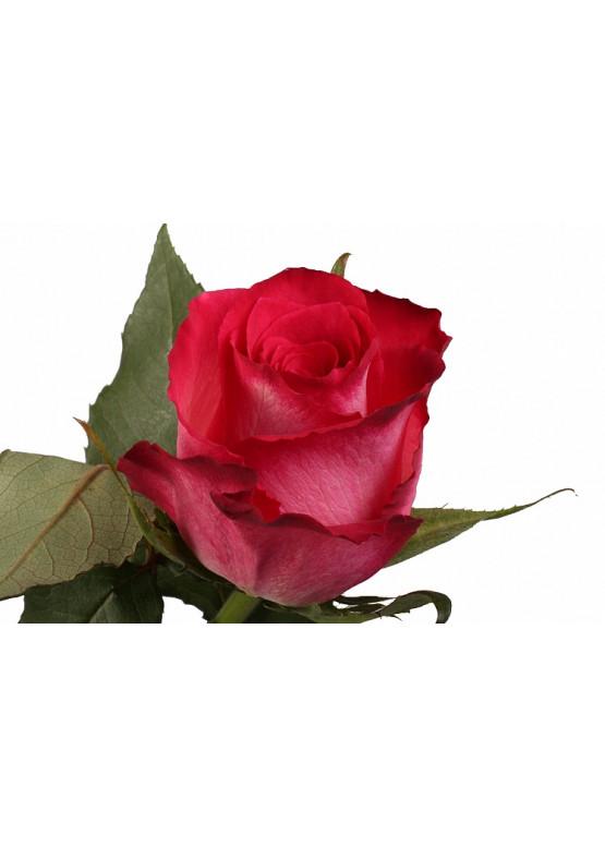 Роза Николетта 60см (красная с белым оттенком )