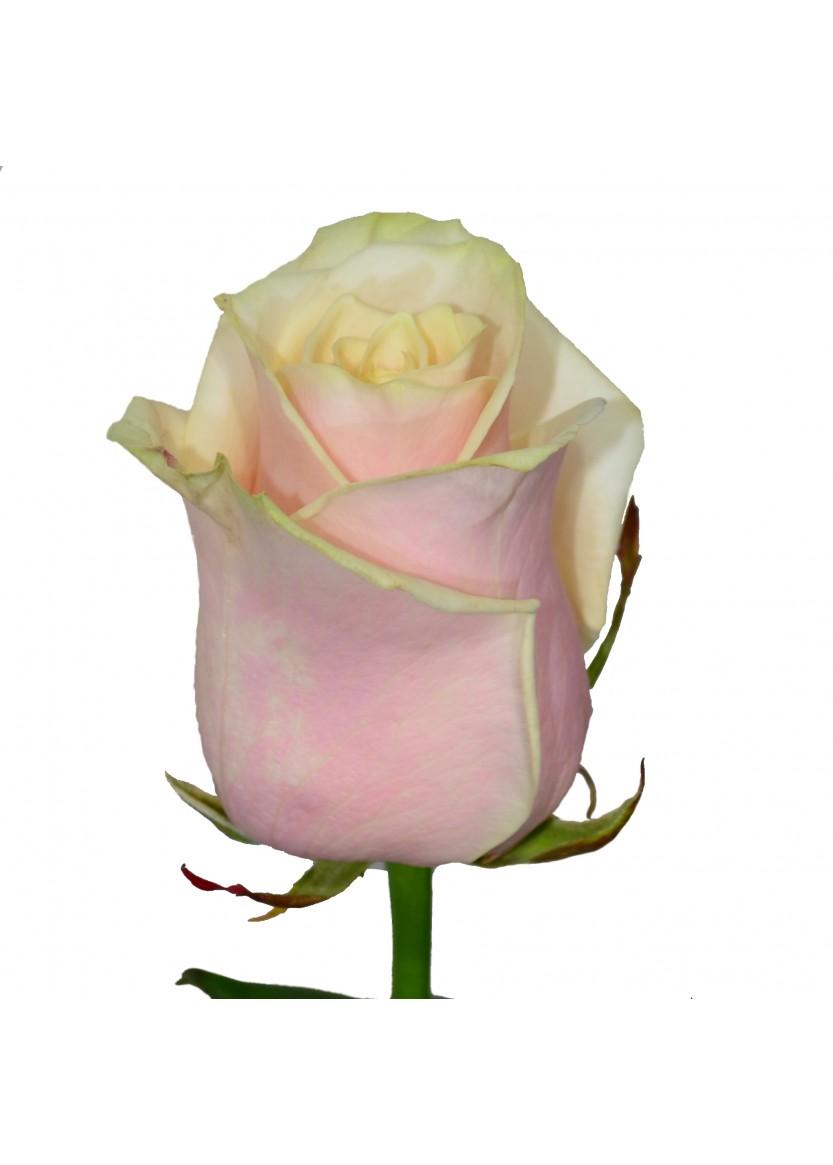 Кремово-розовые розы
