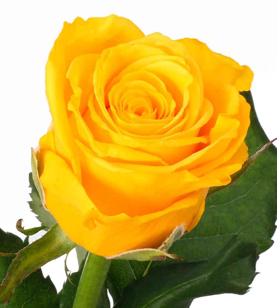 Желтые розы